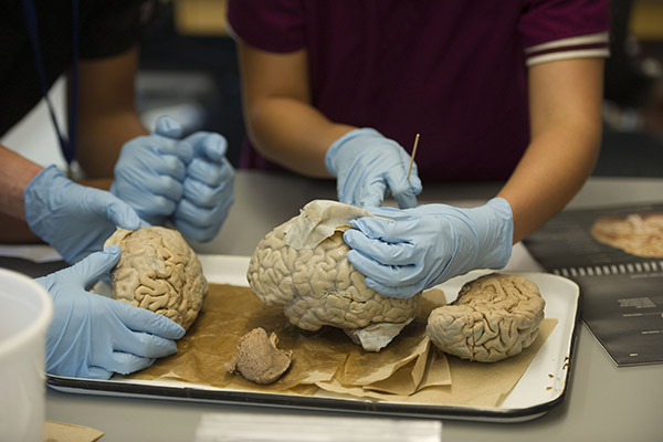 Students examine dissected brain