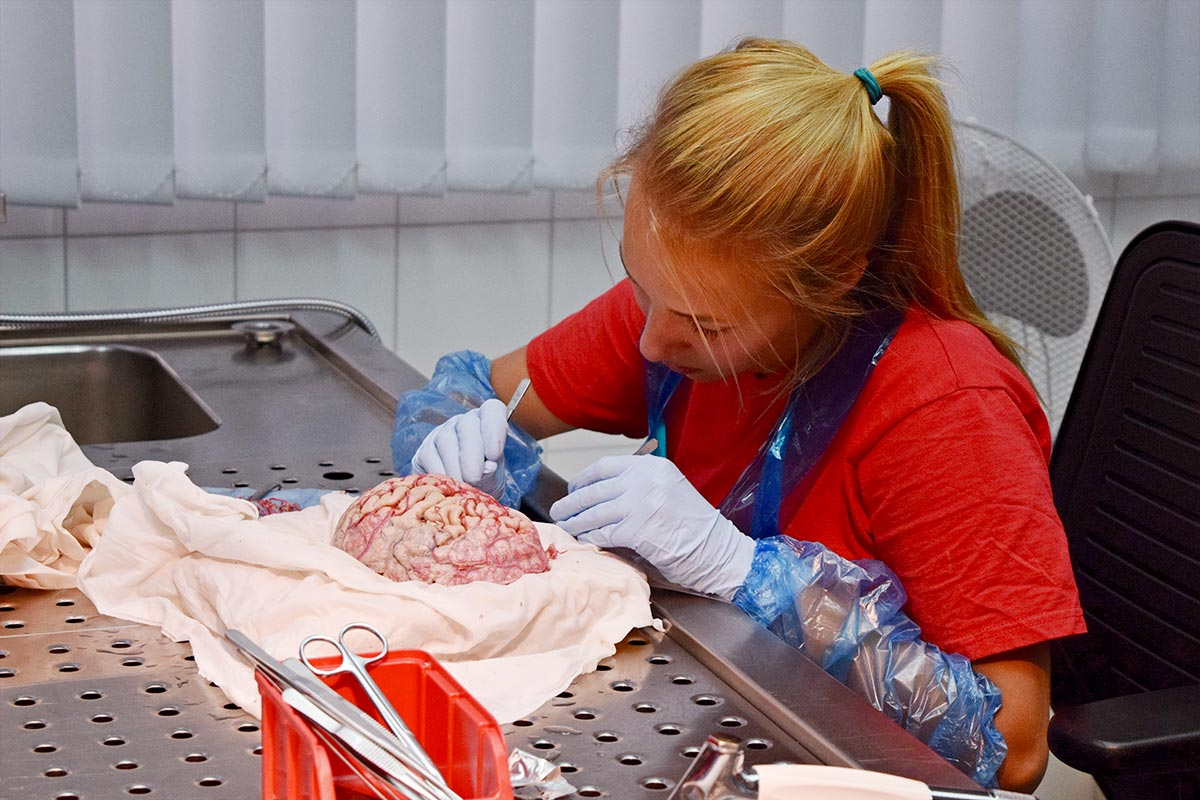A female students constructs a platicsized brain.